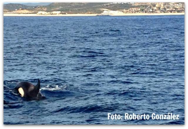 3 - 1 orcas en cabo san lucas