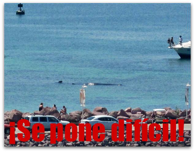 2 - 1 ballena varada costa baja no pueden rescatar