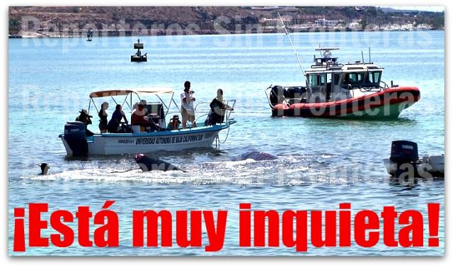 2 - 1 uabcs al rescate de la ballena varada