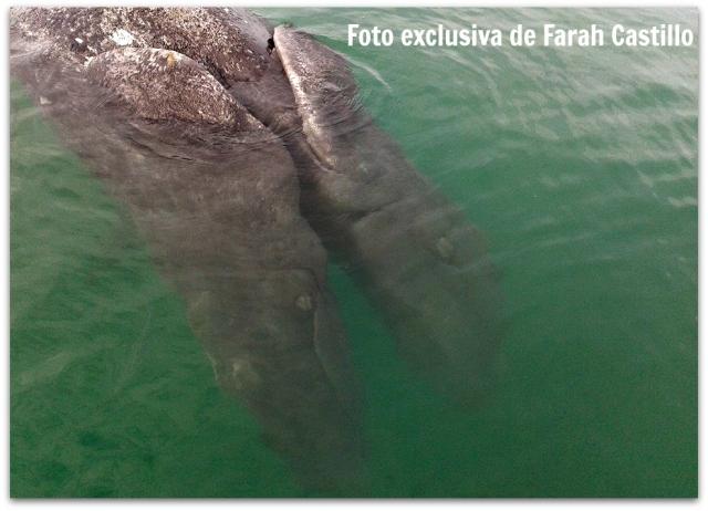 2 - 1 ballena de dos cabezas