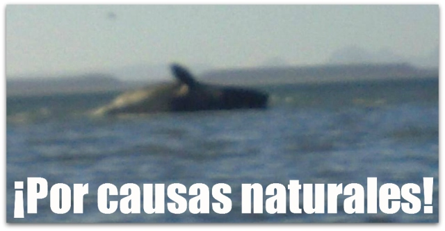 2 - 1 ballena en laguna de san ignacio