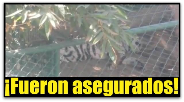 1 a tigre malecon de la paz