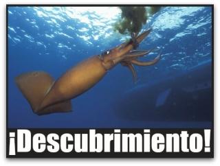 0 a calamar gigante golfo de california
