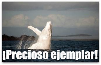 0 a ballena blanca2  baja california sur