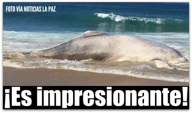 d a ballena albina todos santos 002