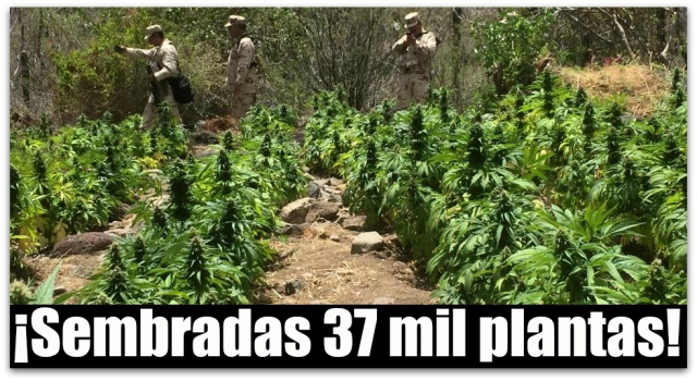 0 a aa plantios de marihuana en comondu